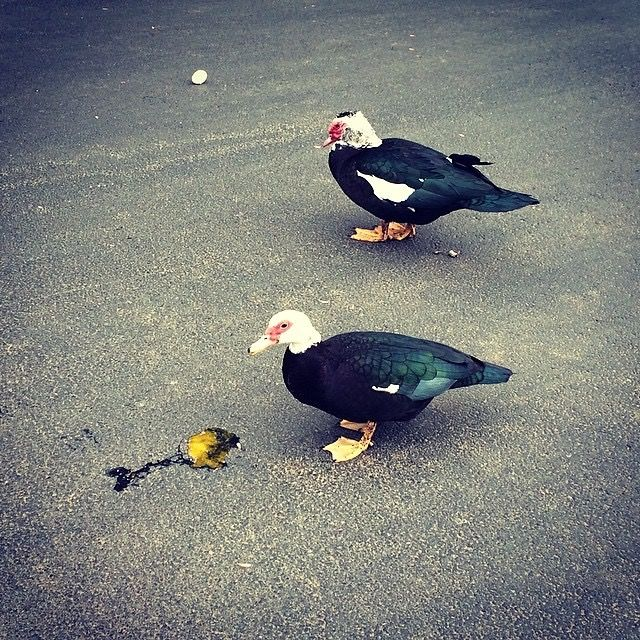 Cannibal Ducks